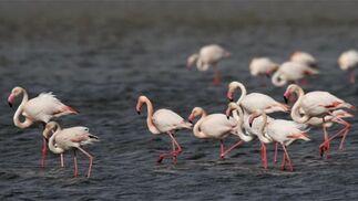 Más de 1.200 flamencos llegados de distintos puntos del mundo han llegado a la Laguna de Fuente de Piedra  Foto: Sergio Camacho