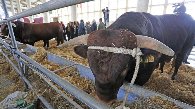 Una de las vacas retintas en Ifeca.