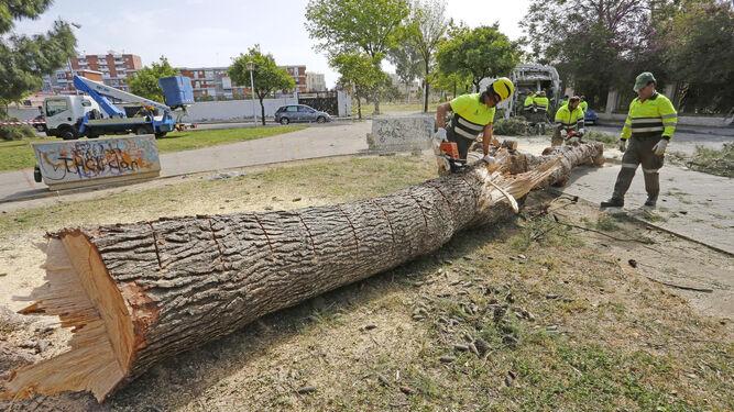 El pino de grandes dimensiones que fue talado ayer en el Parque Sandeman por riesgo de caída.