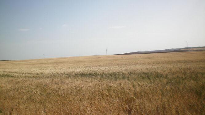 Imagen de un campo de trigo en el que se ven las espigas agostadas por la sequía y los intensos vientos de levante.