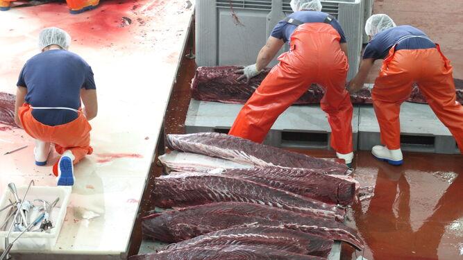 Los atunes, ya ronqueados, depositados en el muelle.