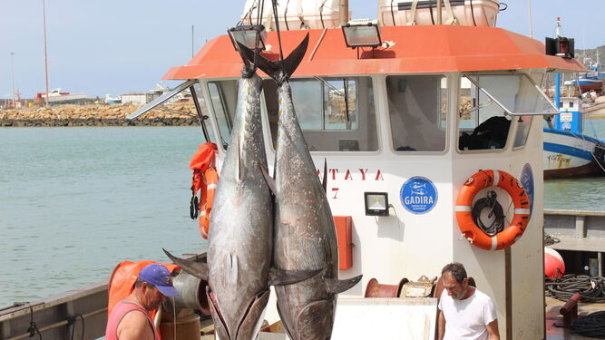 Dos ejemplares de atún salvaje capturados en la primera levantá del año, que tuvo lugar en Conil.