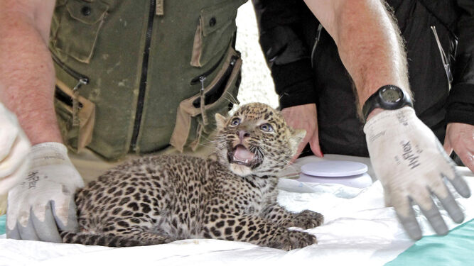 La pequeña bebé leopardo fue presentada ayer en sociedad.