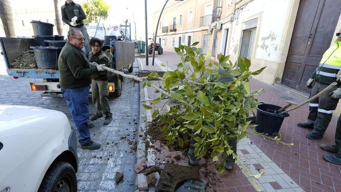 Operarios municipales plantan un árbol ayer en la Alameda Vieja.