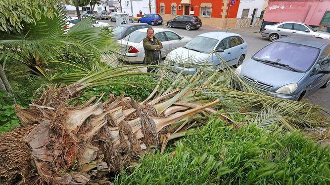 La palmera caída por el temporal invadiendo ayer la acera de la calle Álvar Núñez, en Torresoto.
